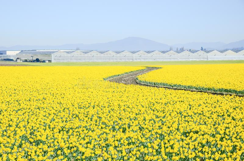 Top view s-curved winding path in daffodil farm at Skagit Valley stock photo