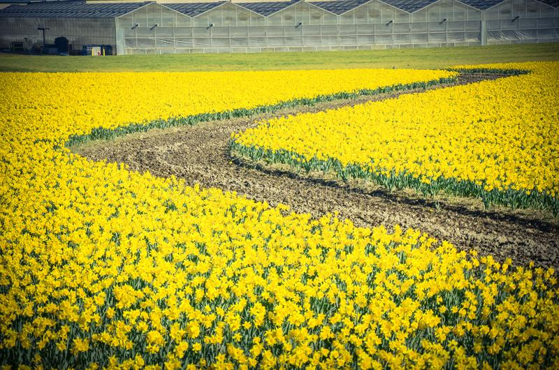 Top view s-curved winding path in daffodil farm at Skagit Valley royalty free stock image
