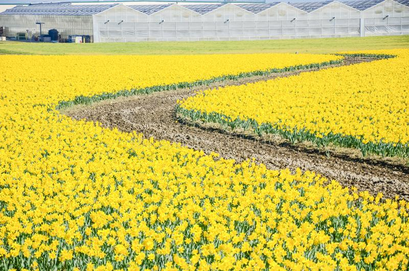 Top view s-curved winding path in daffodil farm at Skagit Valley. WA, USA. Springfield of bright yellow narcissus flower blossom with row of green houses in stock photos