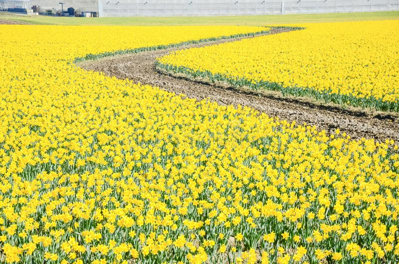 Top view s-curved winding path in daffodil farm at Skagit Valley. WA, USA. Springfield of bright yellow narcissus flower blossom. Nature and agriculture royalty free stock photo