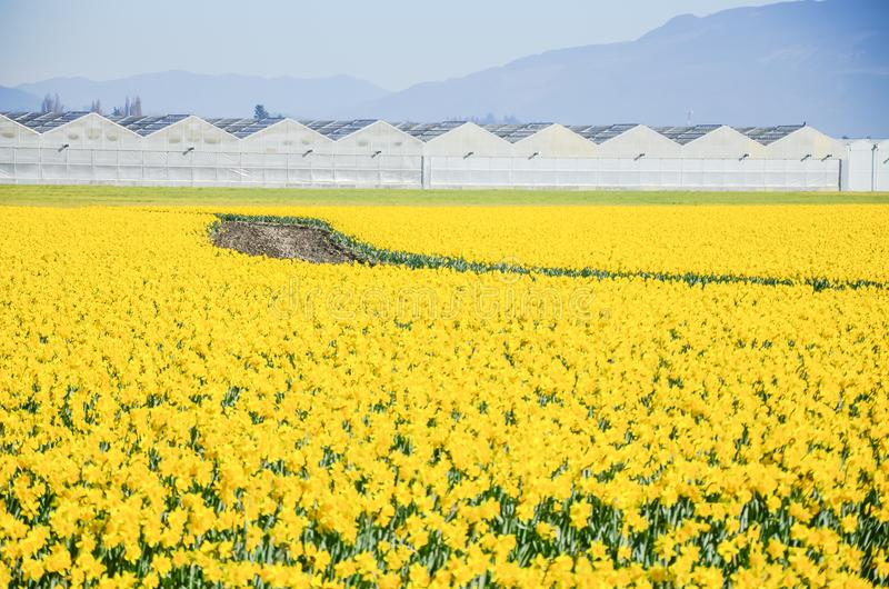 Top view s-curved winding path in daffodil farm at Skagit Valley. WA, USA. Springfield of bright yellow narcissus flower blossom. Row of green houses and stock photography