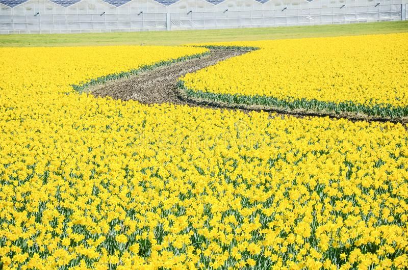 Top view s-curved winding path in daffodil farm at Skagit Valley. WA, USA. Springfield of bright yellow narcissus flower blossom with row of green houses in stock images
