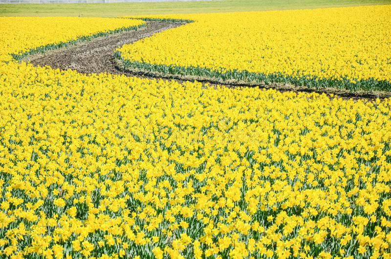 Top view s-curved winding path in daffodil farm at Skagit Valley. WA, USA. Springfield of bright yellow narcissus flower blossom. Nature and agriculture royalty free stock image