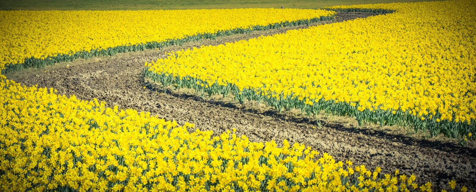 Top view s-curved winding path in daffodil farm at Skagit Valley. WA, USA. Springfield of bright yellow narcissus flower blossom. Nature and agriculture stock photos