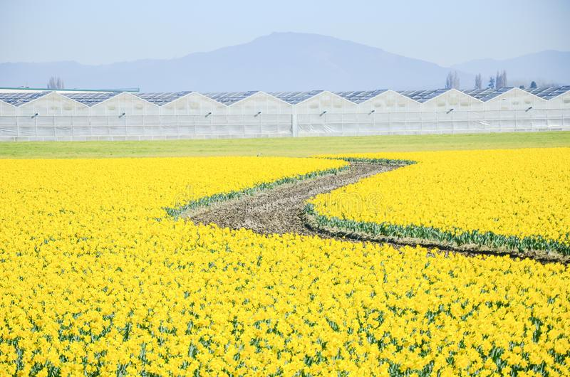 Top view s-curved winding path in daffodil farm at Skagit Valley. WA, USA. Springfield of bright yellow narcissus flower blossom. Row of green houses and royalty free stock photography