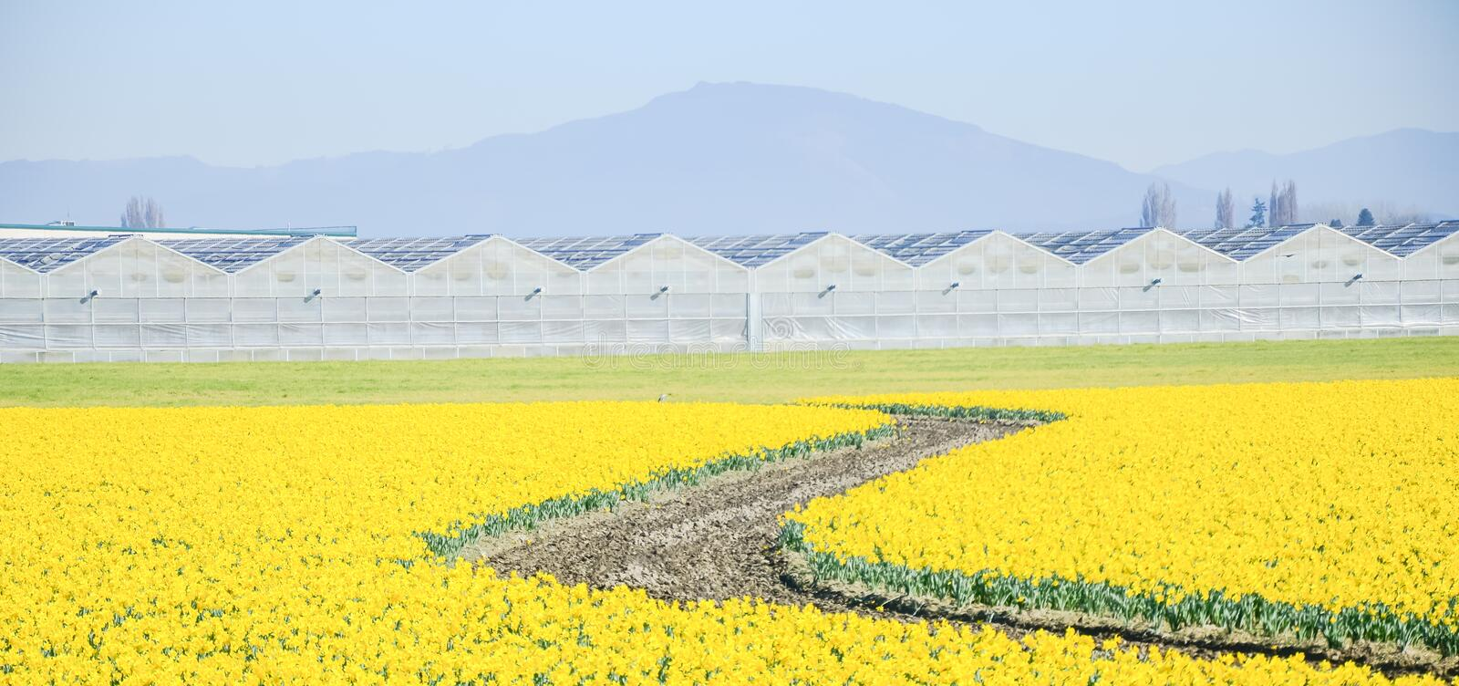 Top view s-curved winding path in daffodil farm at Skagit Valley stock photos