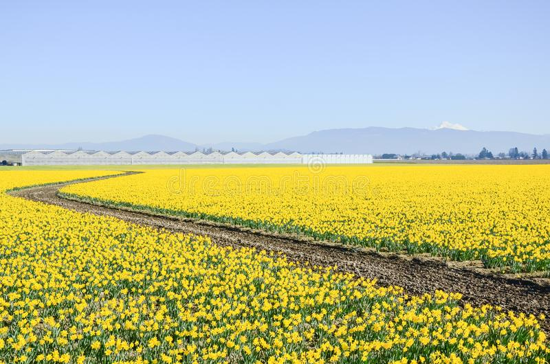 Top view s-curved winding path in daffodil farm at Skagit Valley. WA, USA. Springfield of bright yellow narcissus flower blossom. Row of green houses and snow royalty free stock photography