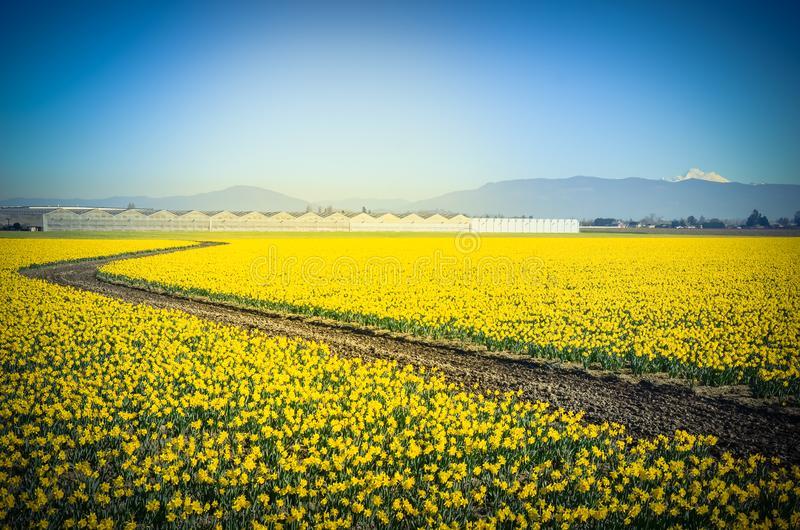 Top view s-curved winding path in daffodil farm at Skagit Valley. WA, USA. Springfield of bright yellow narcissus flower blossom. Row of green houses and snow royalty free stock photo