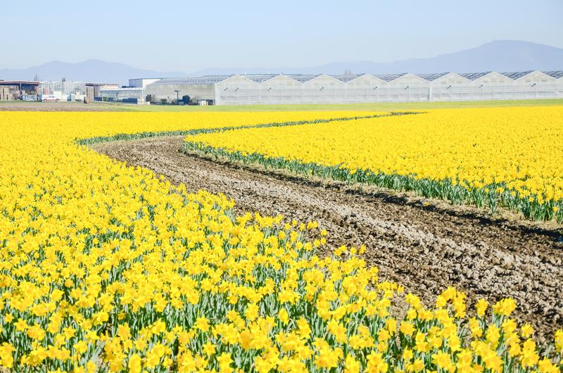 Top view s-curved winding path in daffodil farm at Skagit Valley. WA, USA. Springfield of bright yellow narcissus flower blossom. Row of green houses and stock photo
