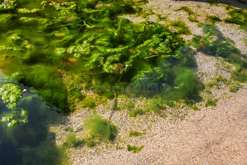 Top view of sea shore with Green algae Tina in water. bright natural background stock photo