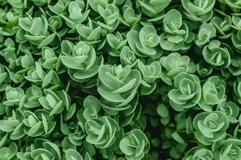 Top view of Sedum ewersii green houseplant. Green leaves pattern background. Natural background and wallpaper. Growing stock photography