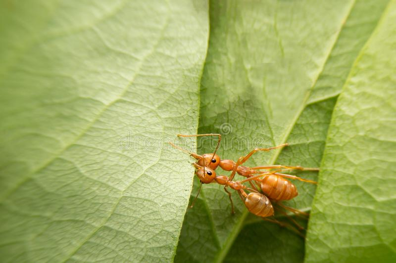 Top view selective focus team works red ants create their nest by green tree leaf with nature background stock photo