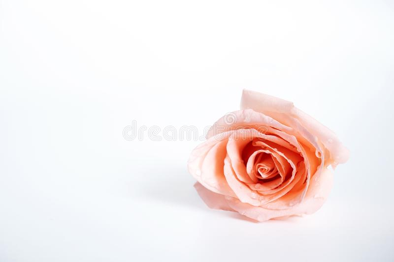 Top view of single pink rose flower blooming with drops of water on the petals isolated on white background. royalty free stock photo