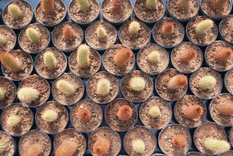 Top view of small green cactus selective focus in flowerpot houseplant. At the farm royalty free stock image