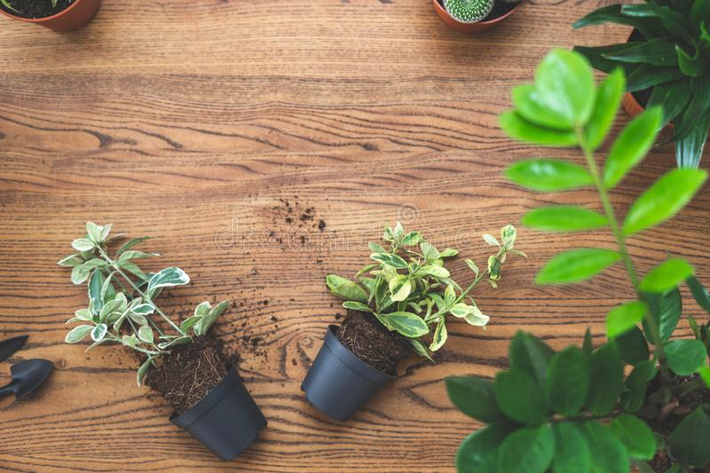 Top view of small green plants in pots and set gardening tools lying on wooden texture table with copy space royalty free stock image