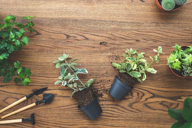 Top view of small green plants in pots and set gardening tools lying on wooden texture table with copy space royalty free stock photography