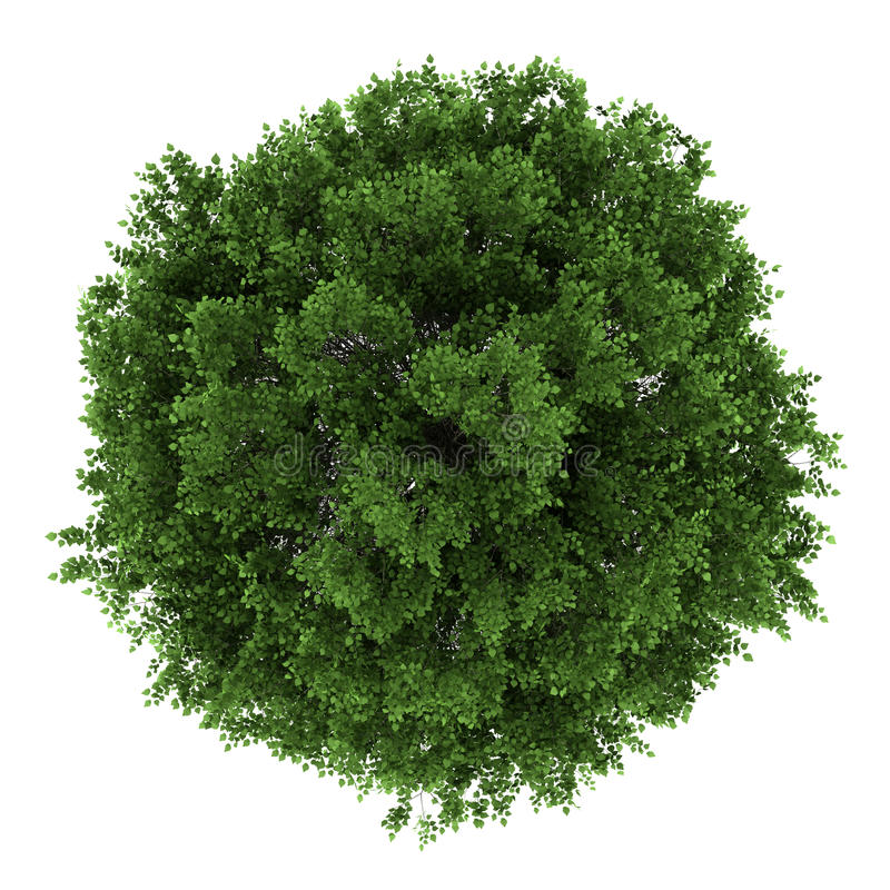Top view of small-leaved lime tree isolated