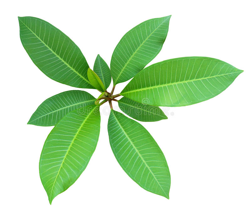 Top view of the small plant, green fresh leaf on center group branches, white background isolated. Frangipani, Plumeria, Temple Tree, West Indian Jasmine stock photo