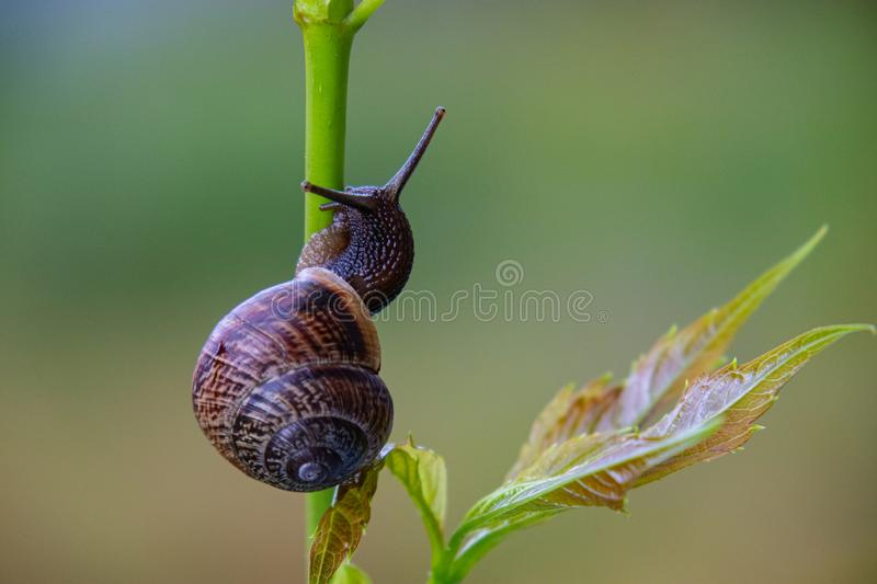 Top view of a snail crawling along a stalk with a leaf stock photography