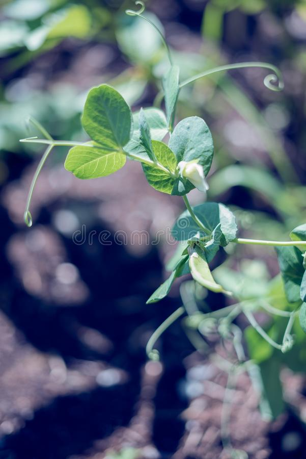 Top view of a Snow pea plant with green leaves and white flowers in a homegrown vegetable garden a summer day stock image