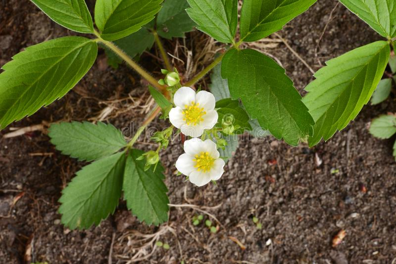 Top view strawberry plant with flowers stock photos