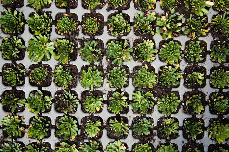 Top view of succulents royalty free stock photo