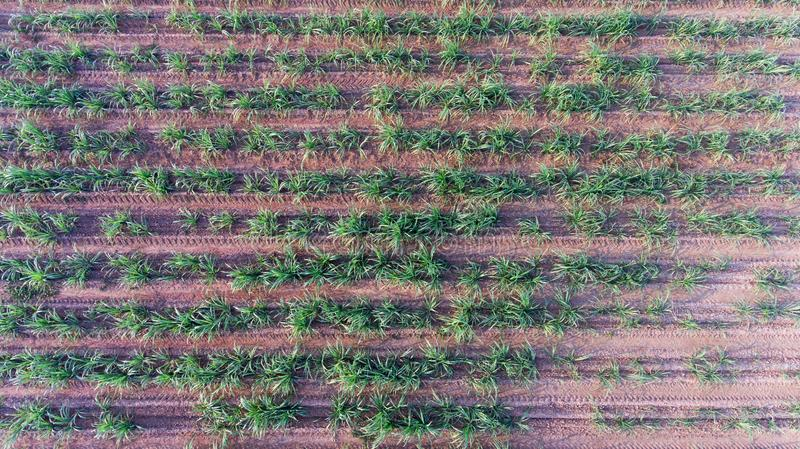 Top view of sugar cane field. Drone bird eye view of small sugar cane field royalty free stock photo