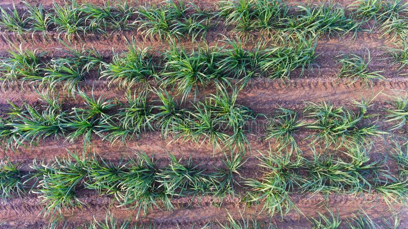 Top view of sugar cane field. Drone bird eye view of small sugar cane field royalty free stock photos