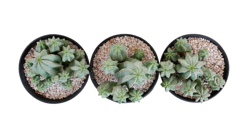 Top view of three small potted cactus succulent Tanzanian Zipper plant Euphorbia anoplia the chunky green stemless succulent stock photography