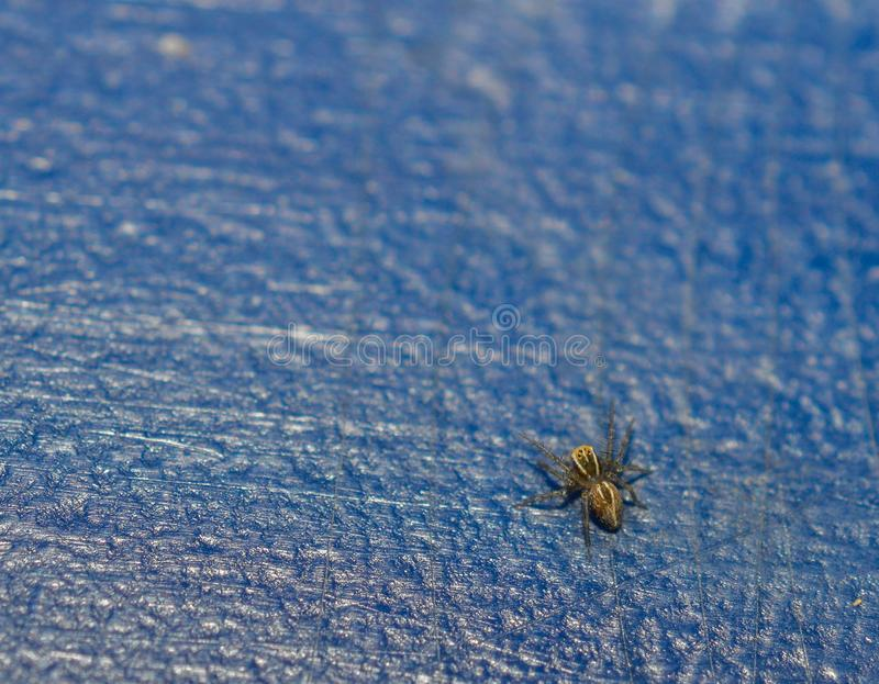 Top view of a tiny baby grass spider on blue background royalty free stock photography