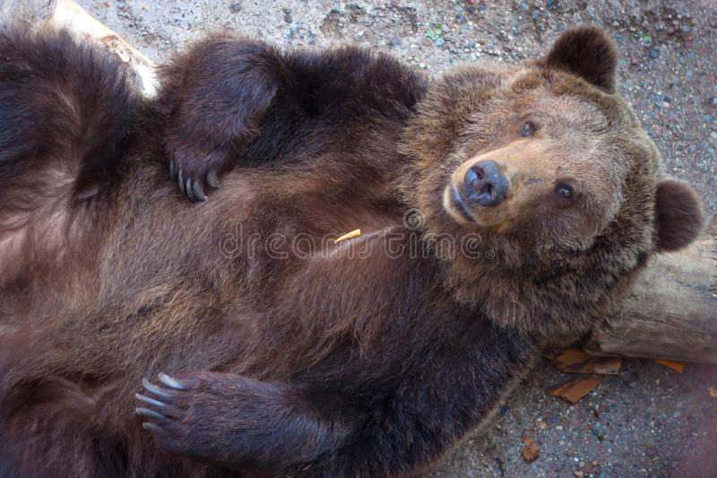 Top view to the big brown bear. Who wallowing on the back royalty free stock photos
