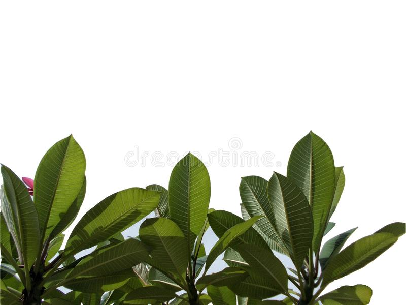 Top view tree tropical leaf with branches isolated on white backgrounds,green foliage for backdrop royalty free illustration