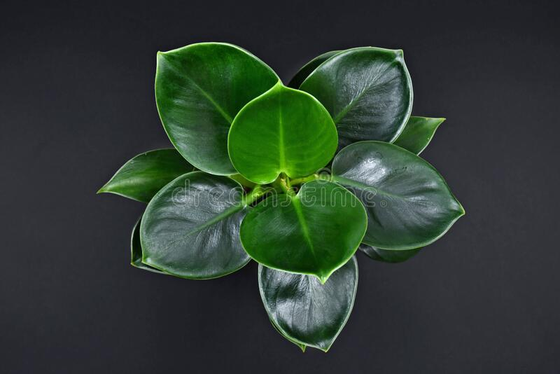 Top view of tropical `Philodendron Green Princess` house plant on black bacground stock image