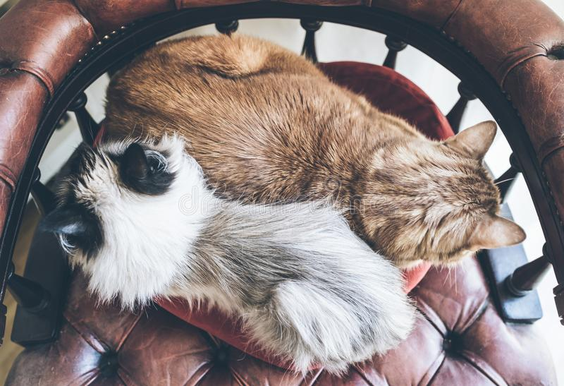 Directly above shot of two domestic cats side by side resting on red armchair. Top view of two domestic cats side by side resting on red armchair royalty free stock photography