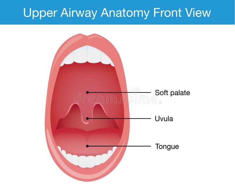 Top View Of Upper Airway Human Anatomy Stock Vector Illustration