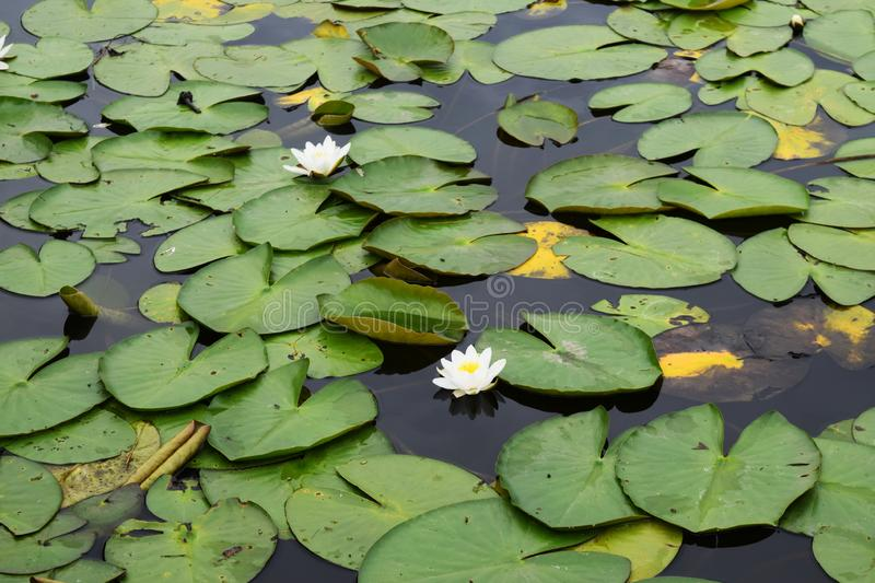 Top view of water lilies with white flowers in Netherlands.  stock photo