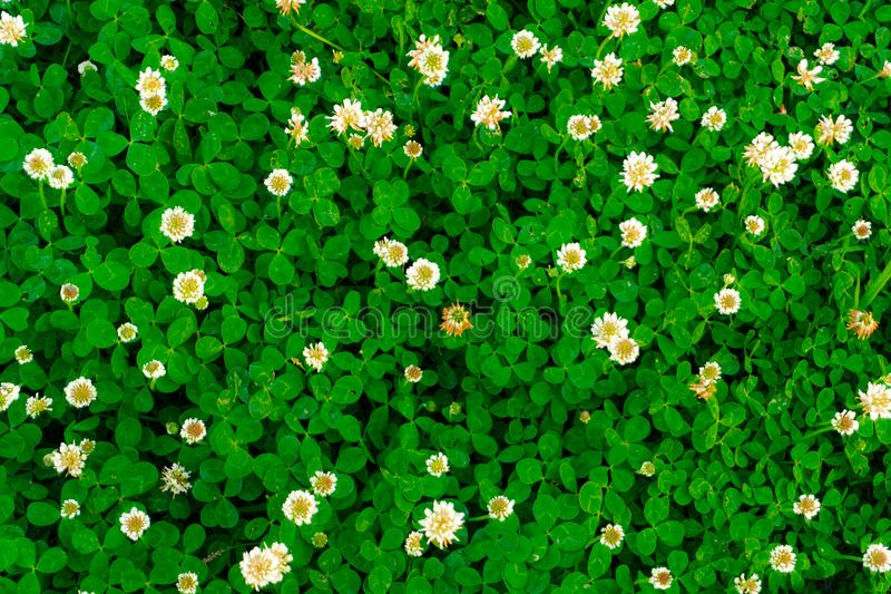 Top View Of White Clover Flower Field Stock Image