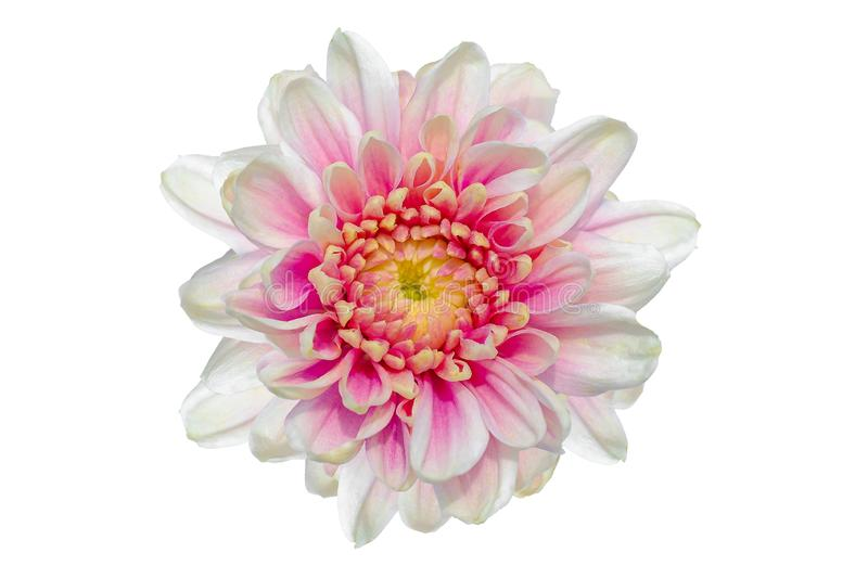 Top view of White pink Chrysanthemum flower isolated on background stock photography