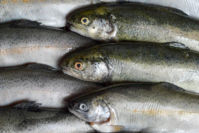 Whole fresh trout fish royalty free stock photos