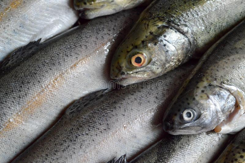 Whole fresh trout fish royalty free stock images