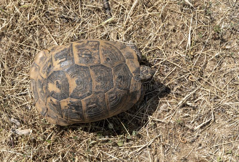 A top view of wild tortoise roaming freely in Central Turkey stock photo