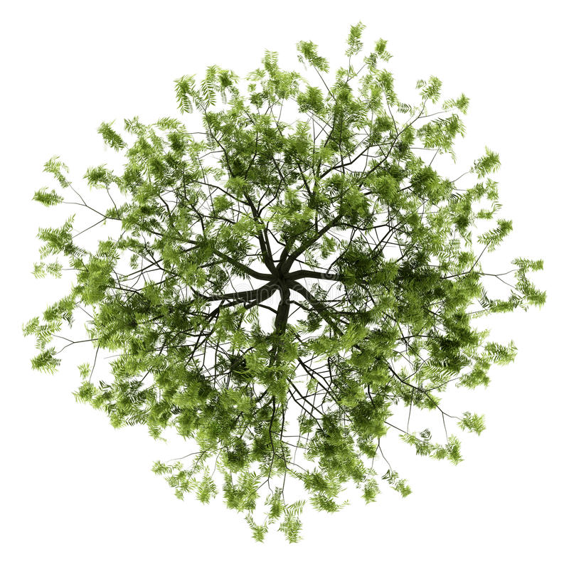 Download Top View Of Willow Tree Isolated On White Stock Illustration - Image: 26728471
