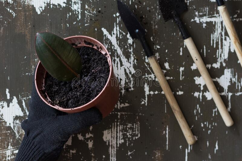 Top view of woman hand in glove holding pot with soil and planted ficus leaf in it on the wooden background. Top view of woman hand in glove holding pot with stock photography