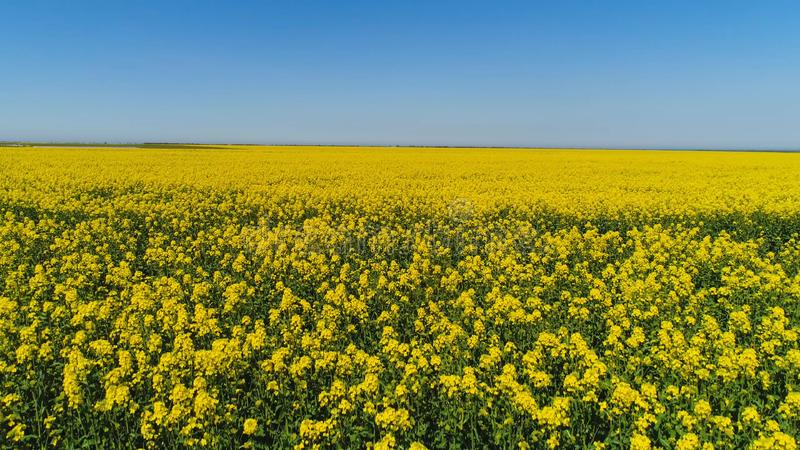 Top view of yellow blooming field on sunny day. Shot. Picturesque beautiful view of yellow solar field on background stock photo