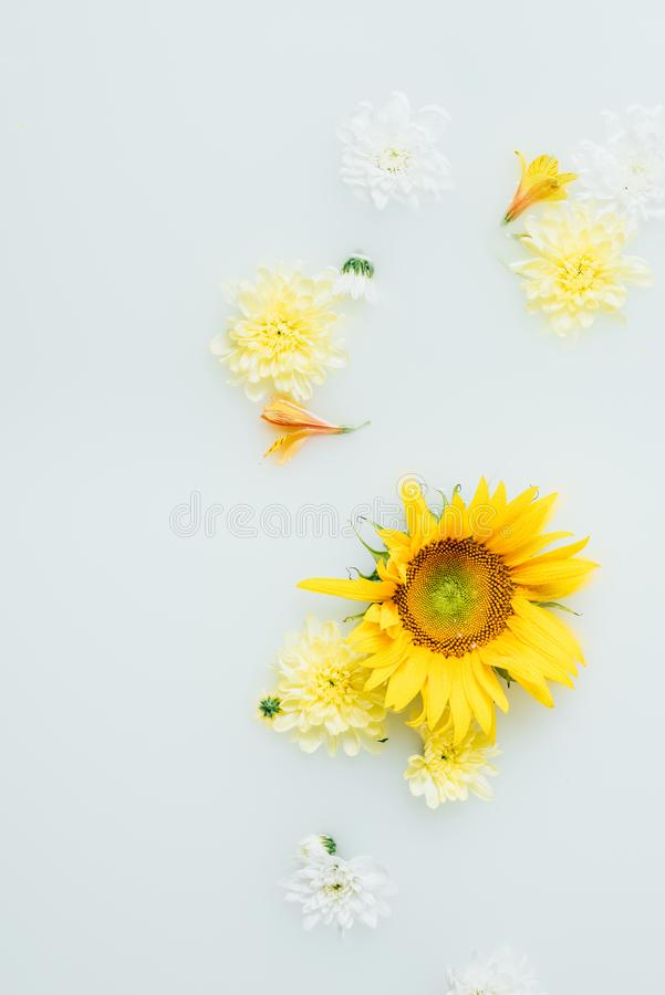 Top view of yellow sunflower and chrysanthemum flowers. In milk stock image