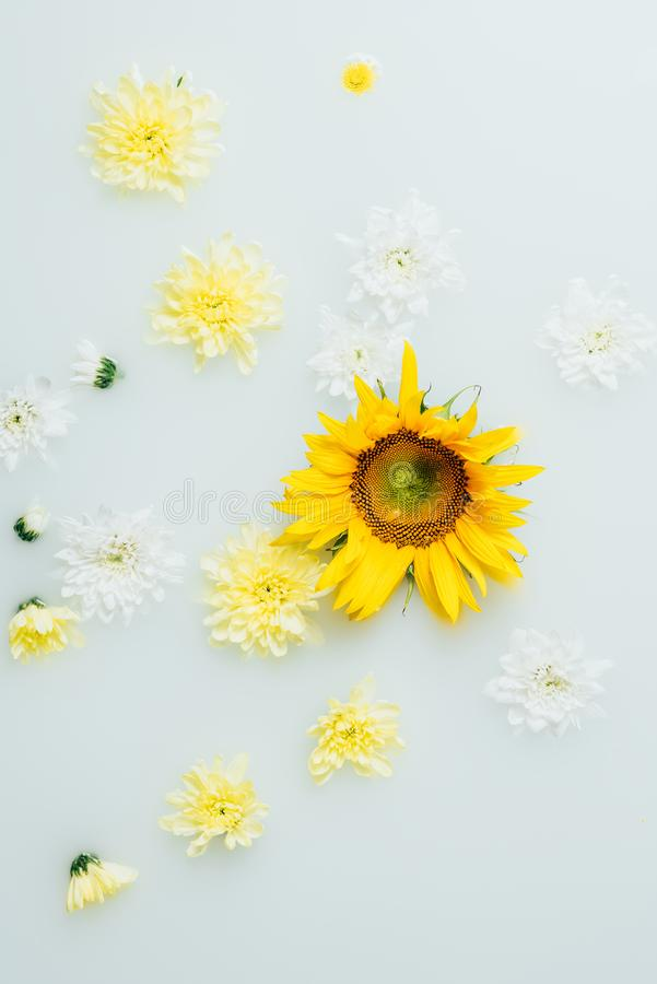 Top view of yellow sunflower and chrysanthemum flowers. In milk stock photography