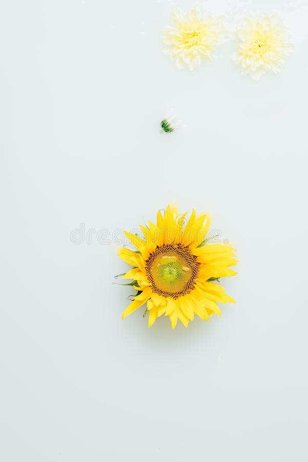Top view of yellow sunflower and chrysanthemum flowers. In milk stock photos