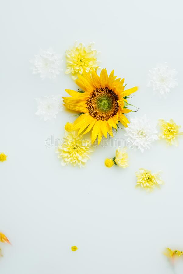 Top view of yellow sunflower and chrysanthemum flowers. In milk royalty free stock photography