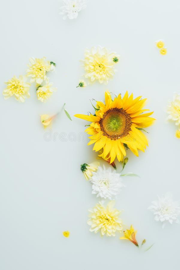 Top view of yellow sunflower and chrysanthemum flowers. In milk stock photo