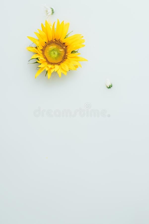 Top view of yellow sunflower. In milk backdrop stock image